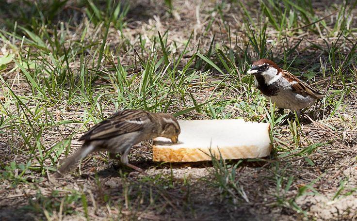 Mahlzeit Ihr beiden! #feldsperling #vögel #sperling #urlaub  #venedig #tierwelt #italien #adria #meer #mare# sea