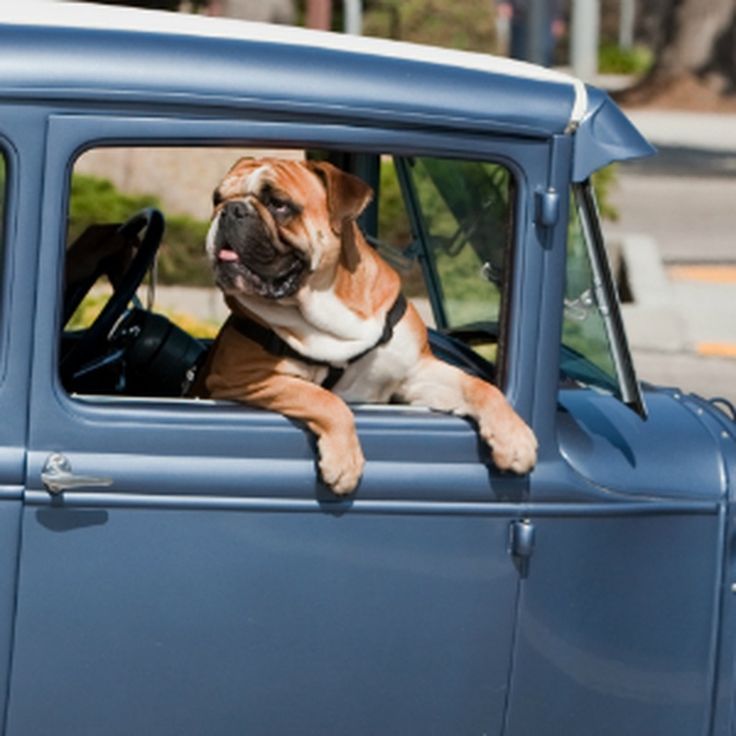 6 Safety Tips for Driving Safely With Dogs. Enjoy your travels!🐕🚙🐩 #dogs #drivingwithdogs #safetyfirst #petowners https://www.trustedhousesitters.com/blog/pets/6-safety-tips-for-driving-safely-with-dogs/