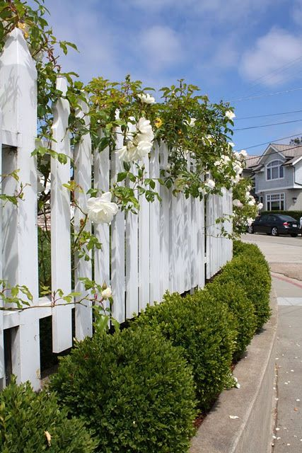 Roses, English boxwood and White Picket Fence http://www.avsfencing.co.uk/fencing/fence-panels/waney-lap