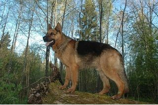 How to Train a German Shepherd to Be a Guard Dog | eHow