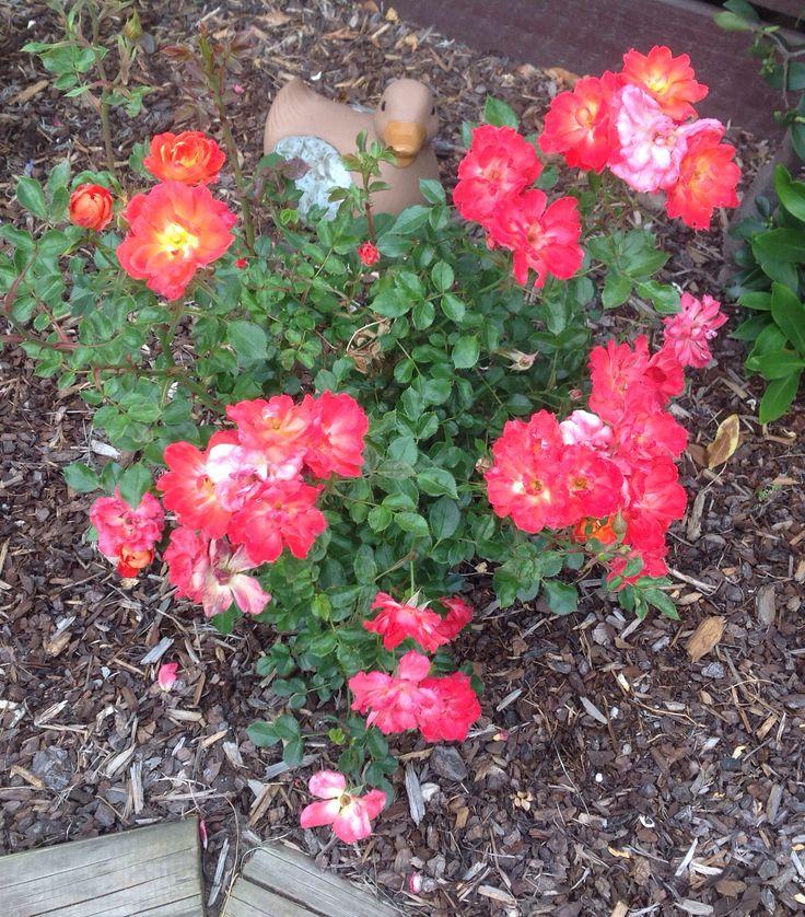 Miniature rose (summer)