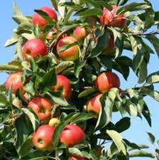 To produce more fruit on your trees, careful pruning can help. pruning apple tree, pruning apple trees, pruning young apple tree, young apple tree pruning