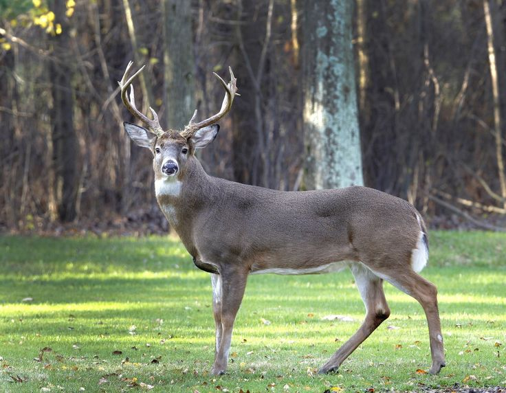 Monster Whitetail Deer Pictures | ap file white tailed deer are among the northeast ohio deer species ...