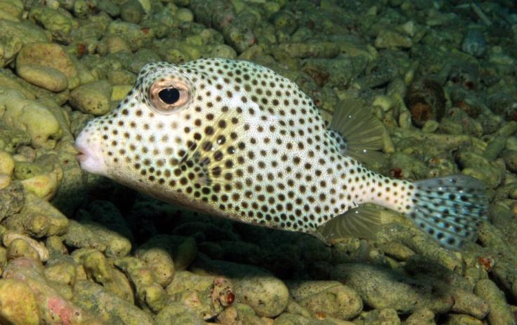Boxfish Fish-Box fish Pinterest