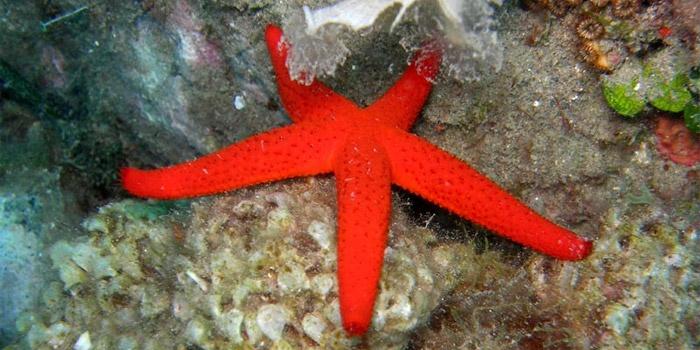 Starfish (Echinaster sepositus)