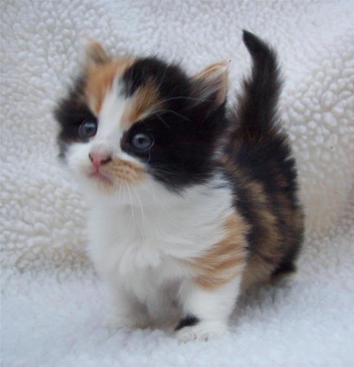 Calico Munchkin Kitten Tiger X Jasmine Cuteness