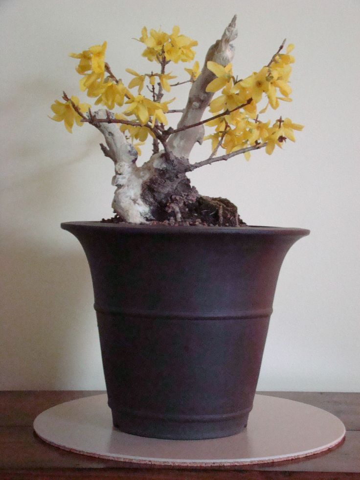 #4 The same shari forsythia bonsai this Spring (2014). After blossoming, will begin wiring branches to cascade down pot.
