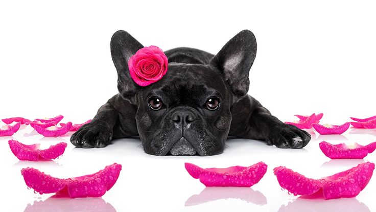 Pictures French Bulldog Dogs Roses Black Petals Pink color Glance Animals White background Staring