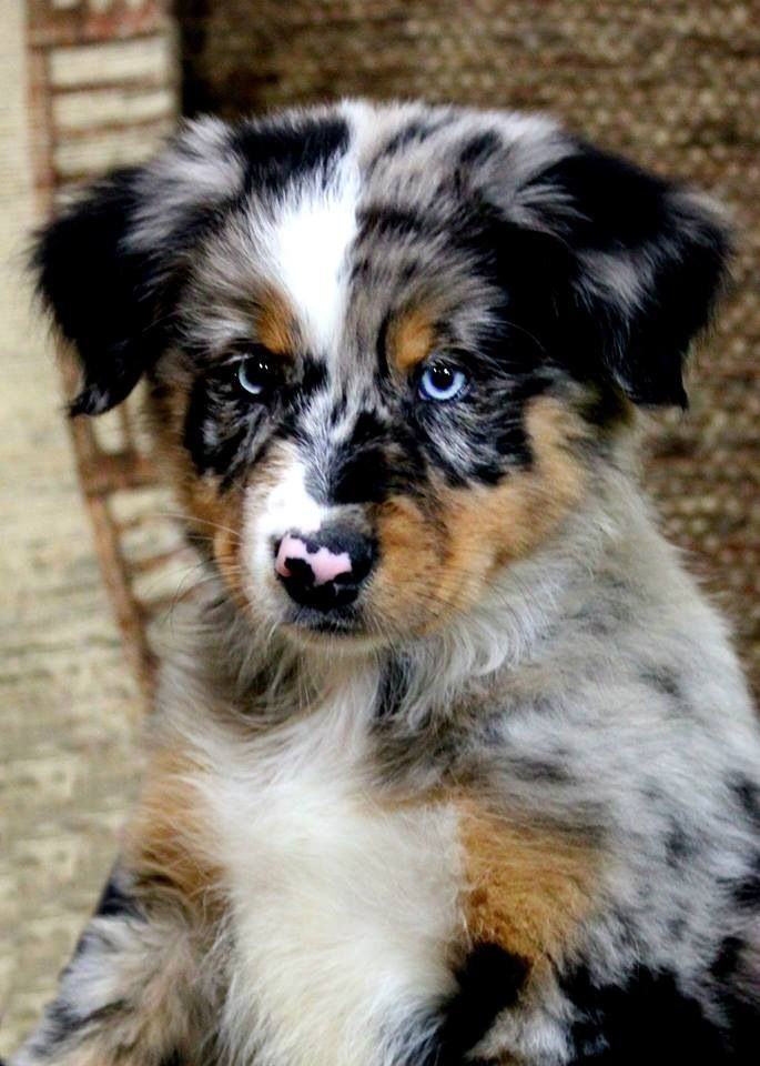 Australian shepherd. This will be my doggy someday!! There so unique in coloring love it