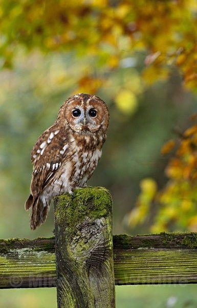 Tawny Owl - ' TAWNY OWL '