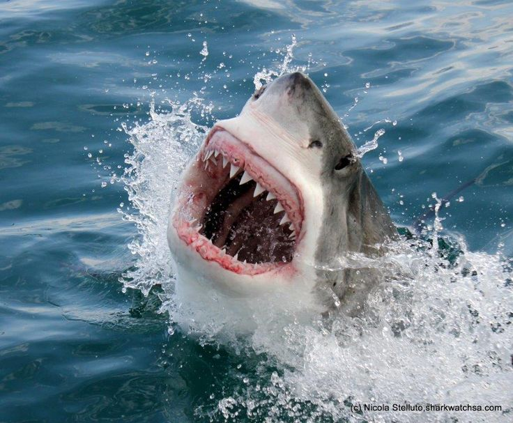 Only 2 hours from Cape Town you will find the little town of Gansbaai. Join Marine Dynamics on a shark cage diving tour. www.dirtyboots.co.za #dirtyboots #capetown #sharkdiving #southafrica