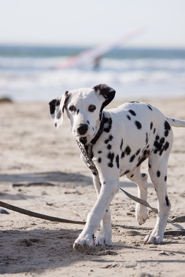 Who doesn't love Dalmatian puppies? Especially deaf ones rescued by a dog trainer? =)