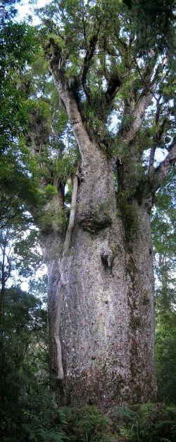 New Zealand kauri in the Waipoua Forest, Wekaweka, New Zealand