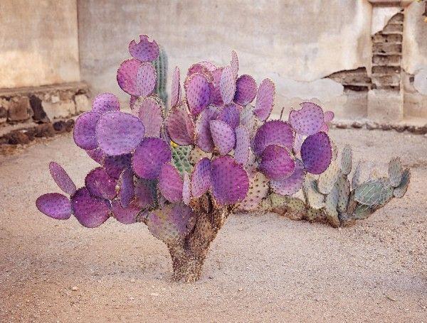 El nopal violáceo por su coloración morada destaca entre los demás cactus. Su adición a un jardín de cactáceas será una gran aportación.