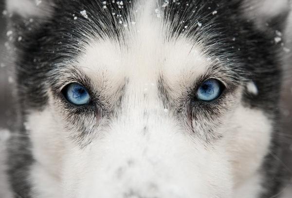 Close up - husky eyes