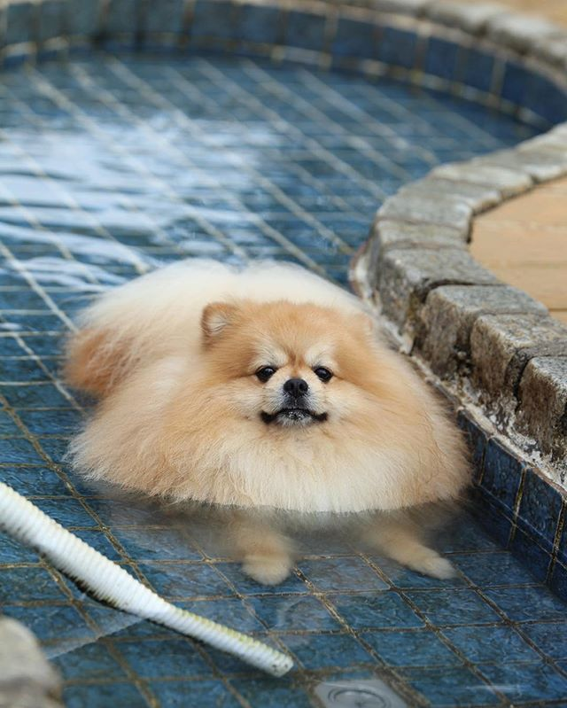 Pomeranian Puppy Care  PetPom