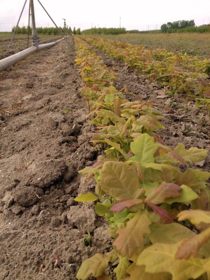 Vivai Ivano Guagno: dal #seme all' #esemplare. Vivai Ivano Guagno: from #seeds to #specimens. Scopri tutta la nostra produzione - Discover our production http://www.vivaiguagno.com [#Seedbeds - #Semenzai di #Quercur robur]