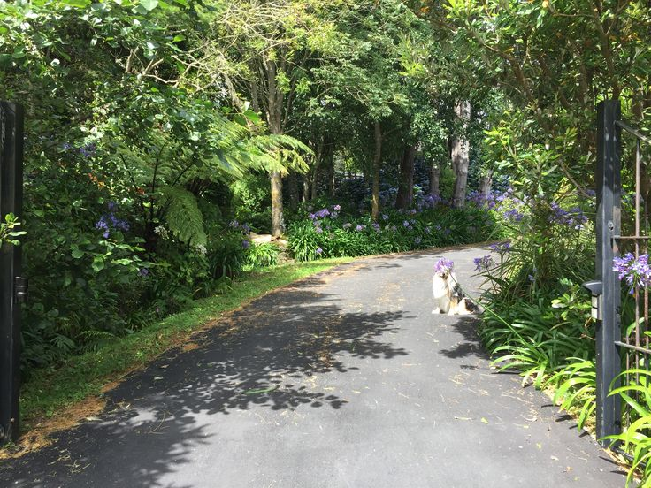 driveway in midsummer and jasper with agapanthus shower cap