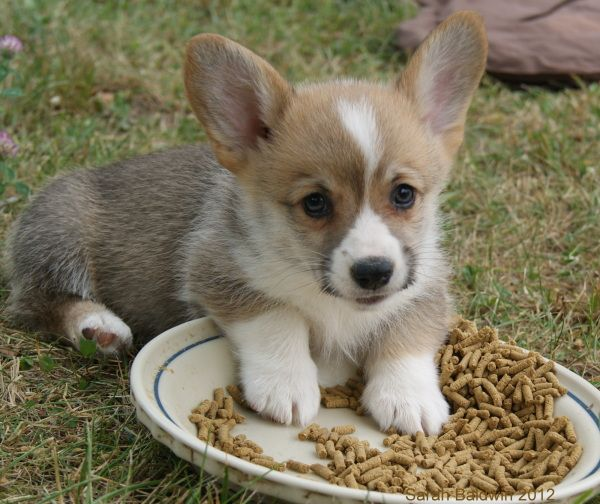 Mini Corgi Puppies For Sale >> Mini Corgi Planter Pots Corgi S Wonderful Dog S Corgi Puppies