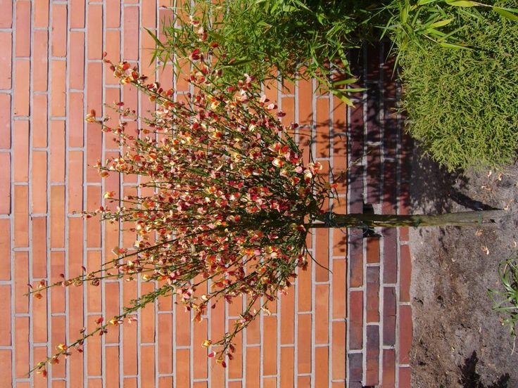 Cytisus scoparius u0027Paletteu0027 - gelbroter Ginster Exterieurs Pinterest