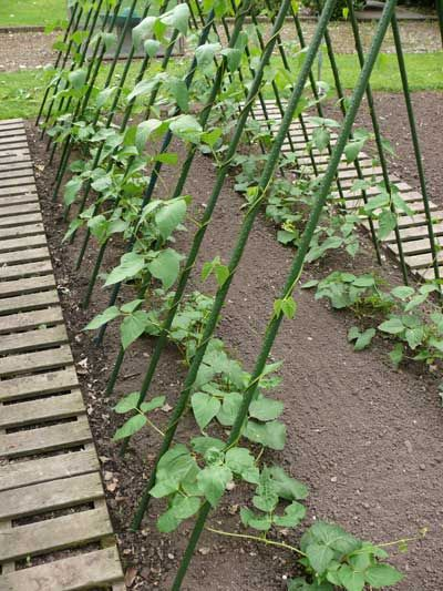 Seed To Feed Me How To Grow Runner Beans From Seed Diy 400 x 300