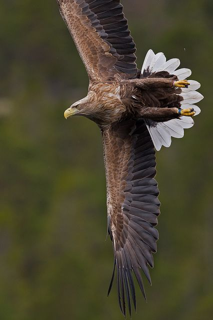 White tailed eagle — also called the Sea Eagle, Erne, and White-tailed Sea-eagle —(Haliaeetus albicilla) by nick_74