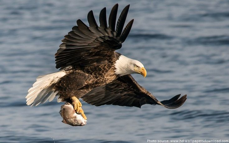 Interesting facts about eagles | Just Fun Facts