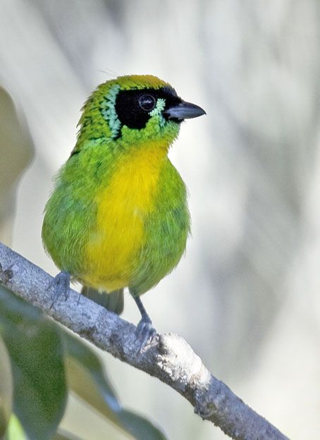 Foto saíra-ouro (Tangara schrankii) por Edson Endrigo | Wiki Aves - A Enciclopédia das Aves do Brasil