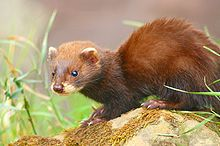 A young erythristic Welsh polecat at the British Wildlife Centre, Surrey, England