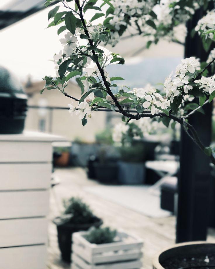 Apple tree on the terrace!