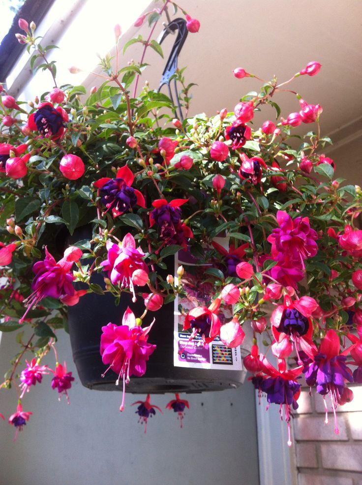 Best Hanging Basket Flowers For Hummingbirds : Best images about landscape hanging fushia on