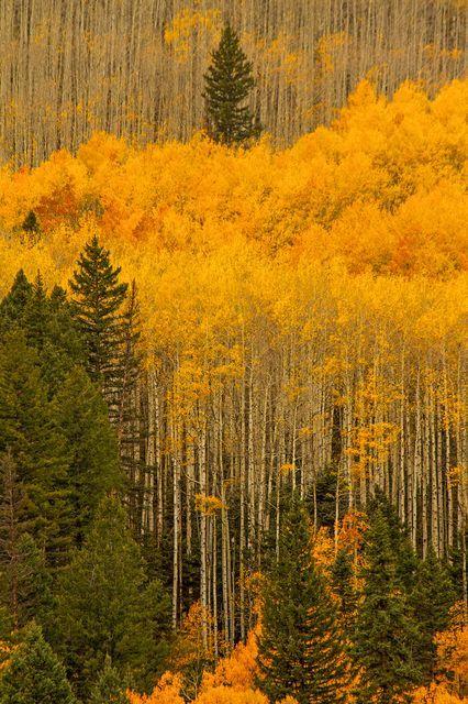 Colorado. U.S.A.       サンファン山脈の黄葉(米国・コロラド州)
