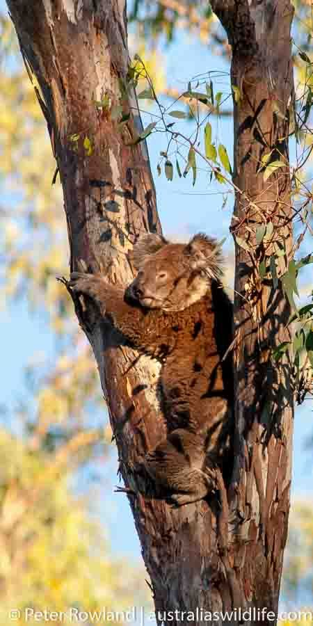 #Koala up a #gum #tree #Australia #aus_wildlife