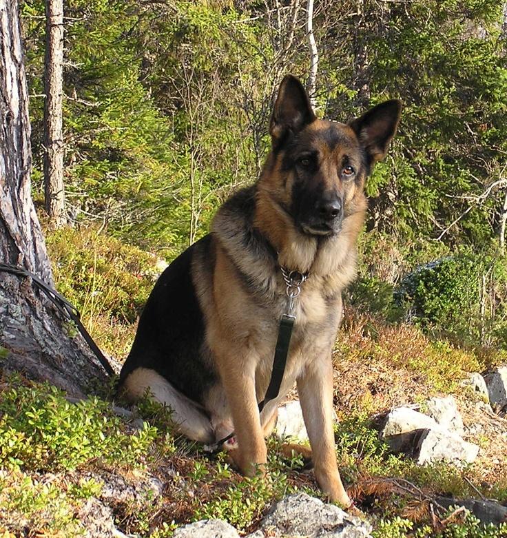 I want another German Shepherd!
