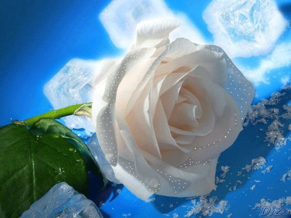 "During Victorian times, A fully bloomed white rose says "" you are worthy"" in the language of flowers. Description from pinterest.com. I searched for this on bing.com/images"