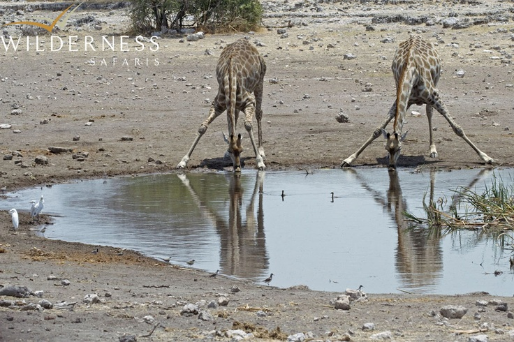Andersson's Camp - Large herds of plains game concentrate around the waterholes in the dry season, whilst the summer months' sporadic rainfall produces a profusion of new life - with pronking baby springbok and comical young wildebeest. #Safari #Africa #Namibia #WildernessSafaris