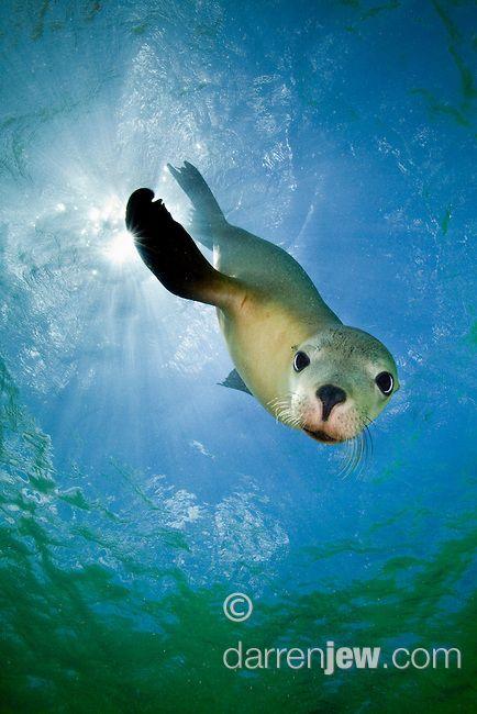 Young Australian Sea Lion, Baird Bay, South Australia