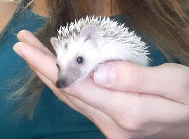 Pygmy hedgehog http://ift.tt/2fLEMY2