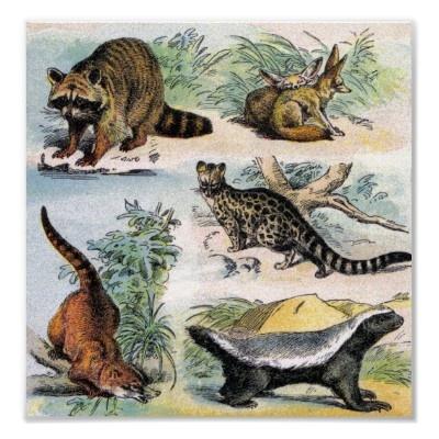 Raccoon, Fennec Fox, Coatimundi, Gennet, Ratel