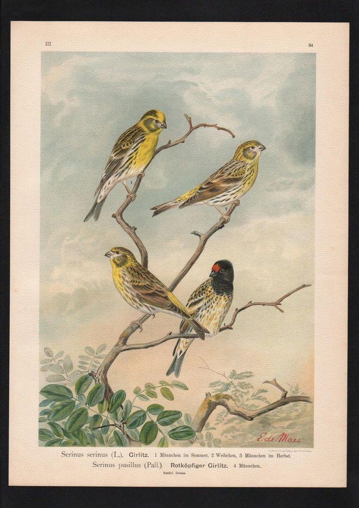 1880 - Girlitz European serin Vogel bird birds Farblithographie Naumann | eBay
