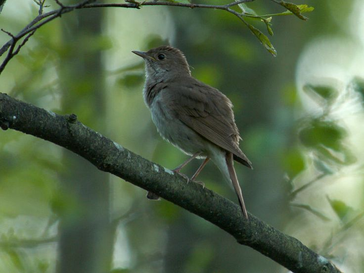 A Thrush Nightingale in Biebrza National Park, Poland.