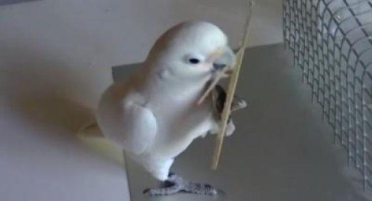 Cockatoos go to carpentry school -- ScienceDaily