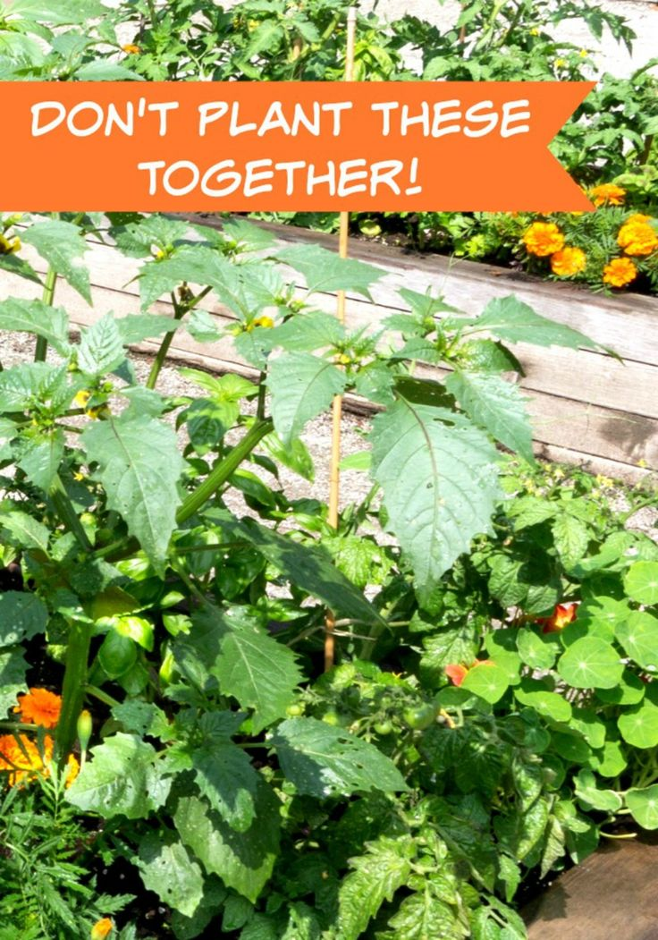 Best 25 Tomato Companion Plants Ideas On Pinterest -1829