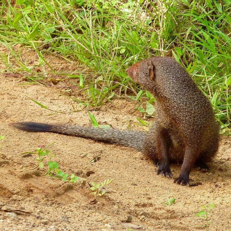 This is a Grey Mongoose (Herpestes Edwardsii) not a very cool name to have. Its…