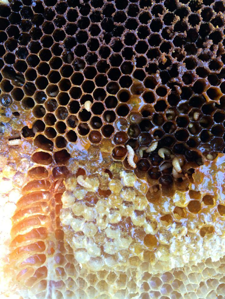 57 mejores imágenes en Beekeeping en Pinterest   Ostras, Apicultura ...