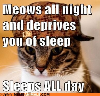 Scumbag catLaugh, American Shorthair, Kitty Larf, Funny Stuff, Scumbagcat, Animal, Americanshorthair, Cat Lady, Scumbag Cat