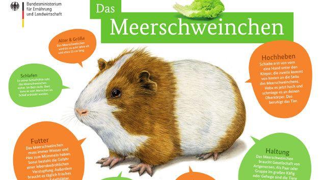 Tierfibel Poster Meerschweinchen In 2020 Meerschweinchen Tiere Haustiere