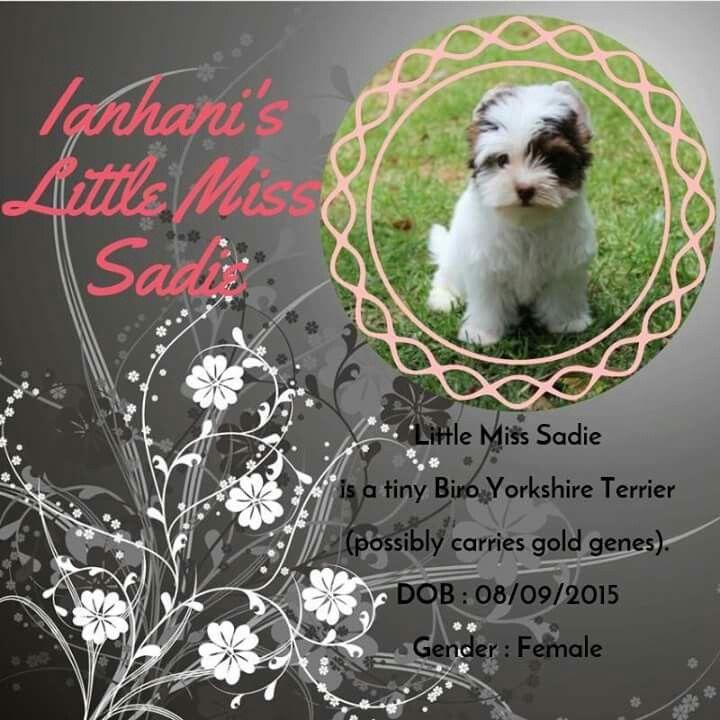 Biro Yorkshire Terrier Female Available
