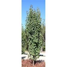 Capital pear tree - Google Search
