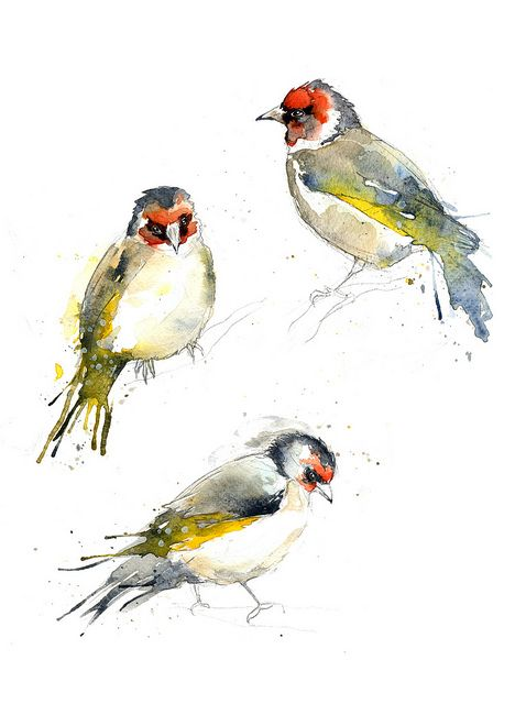 Goldfinch studies by Amy Holliday, via Flickr